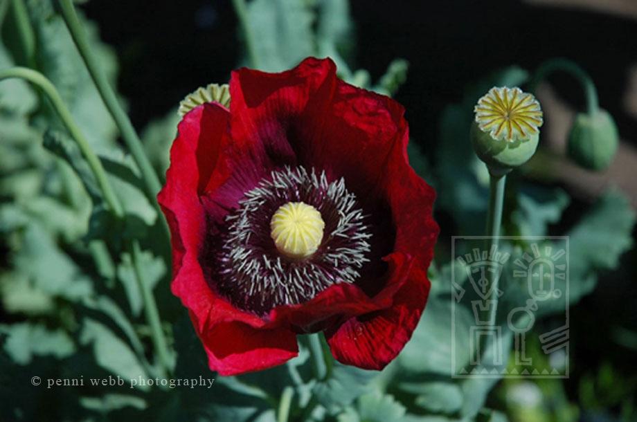 Esalen Poppy Big Sur