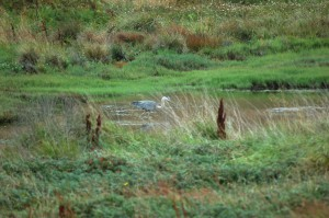 Heron in Sanctuary