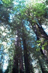 Light in the Redwoods