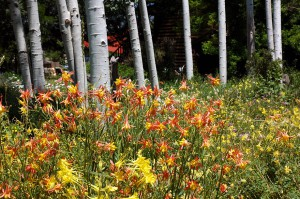 Columbines in Taos