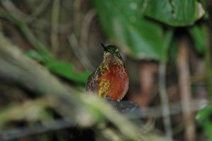 Guango Reserve Hummingbird - Orange colored!