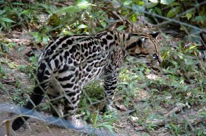 Animal Refuge for endangered animals like this Ocelot