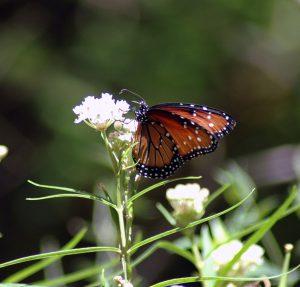 Monarch on a desert flower.