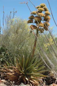 Century old cactus in full bloom!
