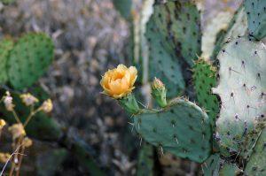 Desert Flower on her property.