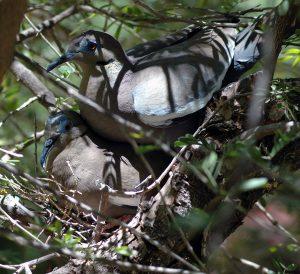 Sweet Doves nesting