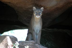 I have been photographing this beautiful Mt. Lion over the years at the Desert Museum.
