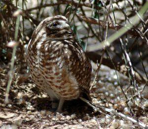 Miniature Owlet in the desert.
