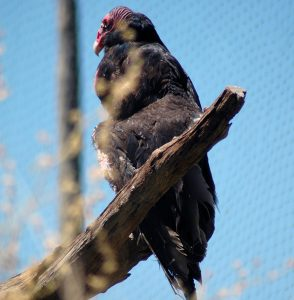 Vulture resting