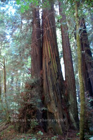 Redwoods 56 72 dpi wm.jpg
