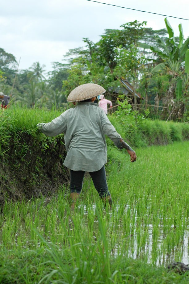 Rice paddie worker