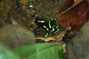 Poisonous Miniature Frog