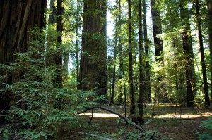 In the Redwood Forest.