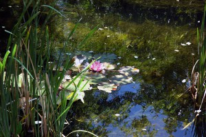 Water Lilies in Taos