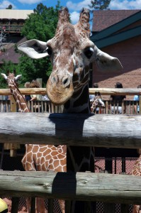 Giraffe at Cheyenne Mt. Zoo