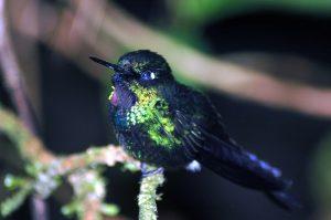 Guango Reserve with Blue Florescent Hummingbird.