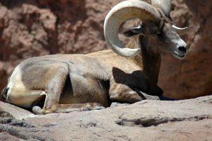 Desert Mt. Goat