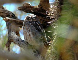 Owl in a Cactus.