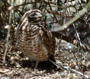 Miniature Owlet in the desert.